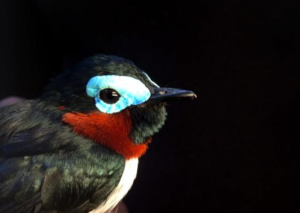 Red-cheeked Wattle Eye captured on a cacao farm in Cameroon.